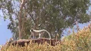 preview picture of video 'Apen net buiten Aksum'