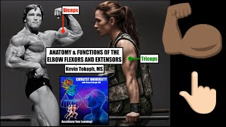 Anatomy & Functions of the Elbows Flexors & Extensors