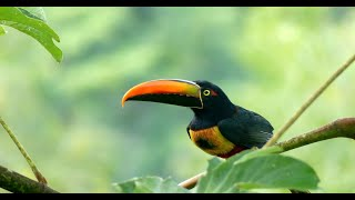 Gorgeous Black mandibled Toucan, Keel-billed Toucan and Fiery billed Aracari | Wild Costa Rica |