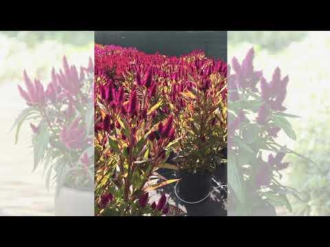 Monarch Butterflies Love Celosia Intenz thumbnail