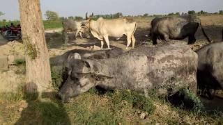 Pure Gulabi Kapla Goat Breed Pakistan sindh