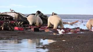After the Kaktovik Whalers Harvest, Polar Bears Feast