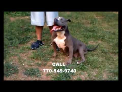Razors Edge Bully Mr  Banx X Mikeland SheMurda bul - dogghousekennels100