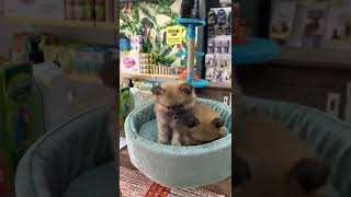 Pomeranian Puppies Videos
