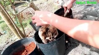 Thay đất, Sửa Rễ Cây Sứ Cảnh - Repotting Adenium Boseum Bonsai - Desert Rose