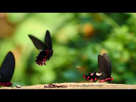 アルクメノールアゲハの吸水 Papilio alcmenor