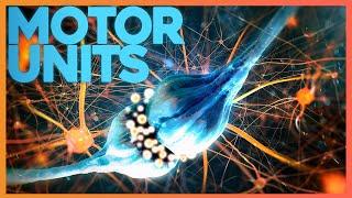 Motor Units: Where Nerve Meets Muscle | Corporis