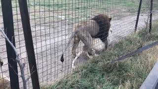 Настойчивый лев добился благосклонности львицы