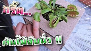 แกล้งซิลค์ !! ต้นไม้งับมือ... นิ้วพี่เซนจะเหลือมั๊ย !! Venus Flytrap - DING DONG DAD - dooclip.me