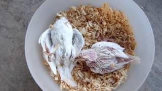 Birds egg food how to make birds soft food parrots softfood cockatiels chicks expire cockatiel pairs feed karwana kun chor dete hain forumfinder Gallery