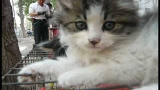 preview picture of video 'Chinese Kitties Cute to Death - 中国猫可爱死了'