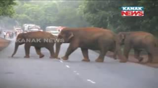 Elephants Block Road In Dhenkanal