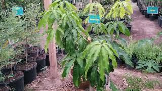 Example Of A High Density Tropical Fruit Garden