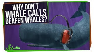 Why Don't Whales Deafen Themselves? - Video Youtube