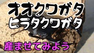 クワガタカブトムシ生活オオクワガタヒラタクワガタ産卵セット