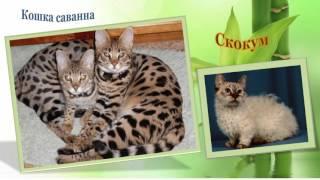 Наши любимые кошки! Редкие породы.