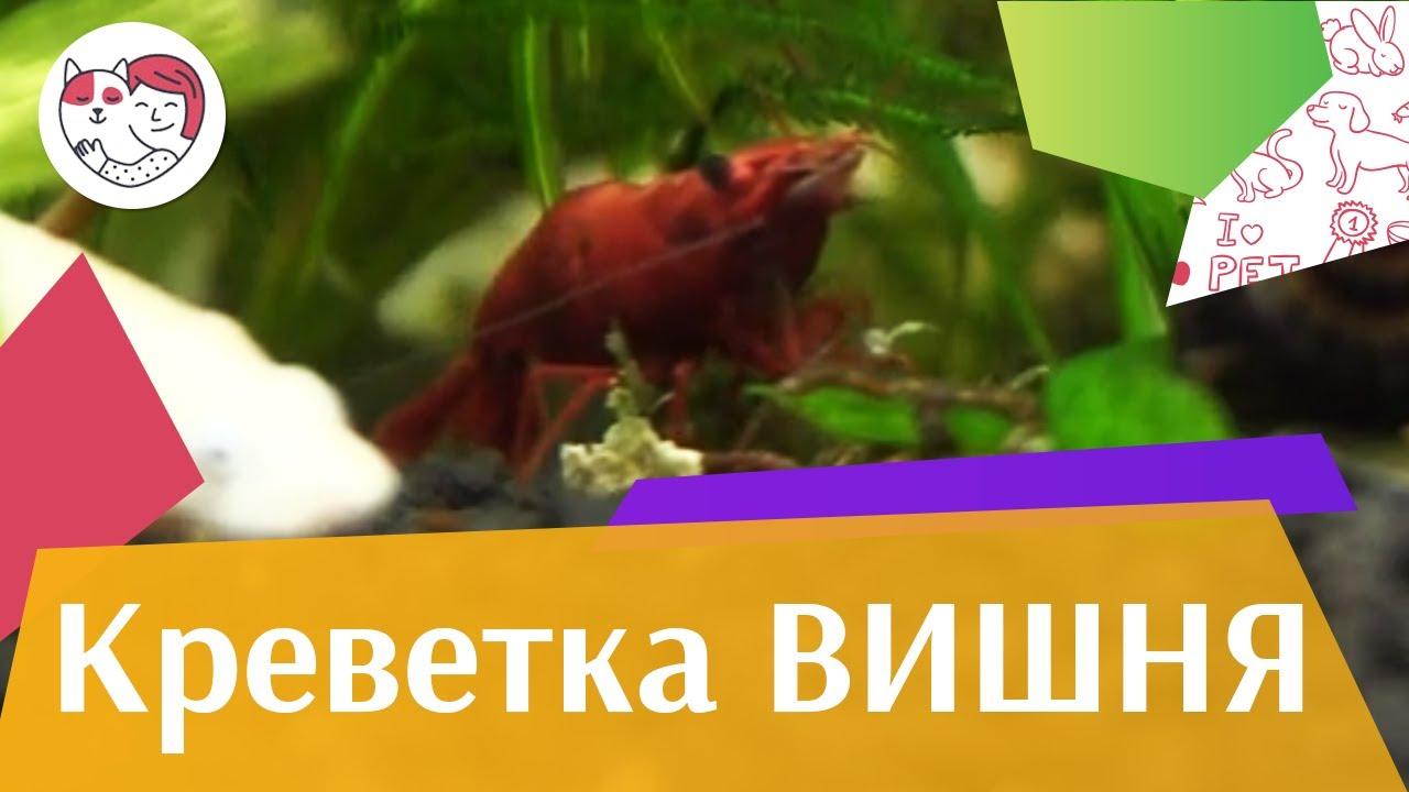 Креветка вишня Разведение на ilikepet