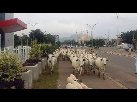 Cows take over FCT road (photos)