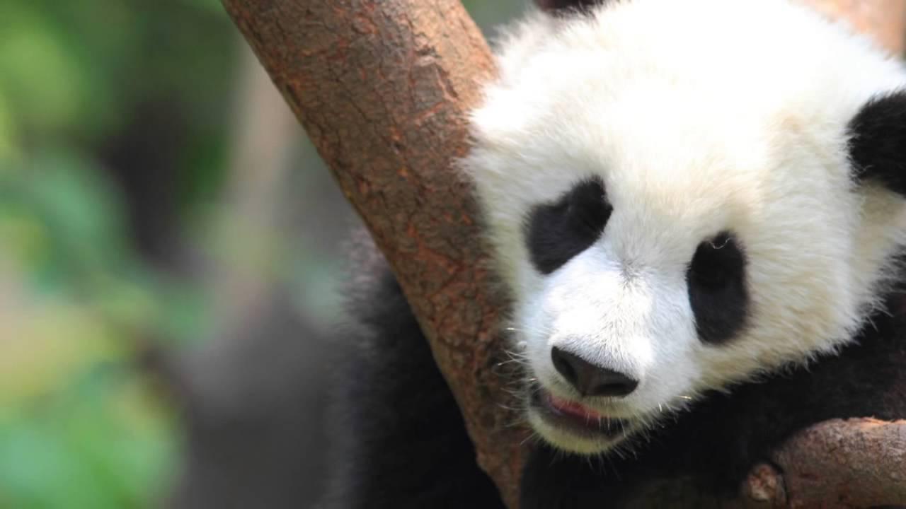 Resultado de imagen para Parque Nacional Giant Panda