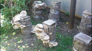Вырастить грибы вешенки на пнях видео