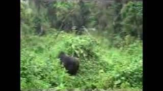 preview picture of video 'Dr. Fontana in Rwanda (4add): Matthias Weber - Berg-Gorillas'