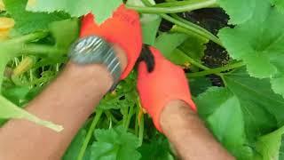 「今日もあなたと百姓一揆!」~旬の有機野菜収穫編@UFOズッキーニ収穫
