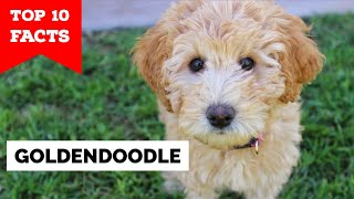 GoldenDoodle - Top 10 Facts