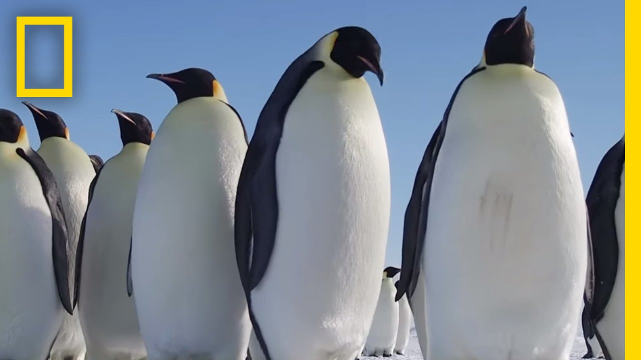 All About the Emperor Penguin | Continent 7: Antarctica thumbnail