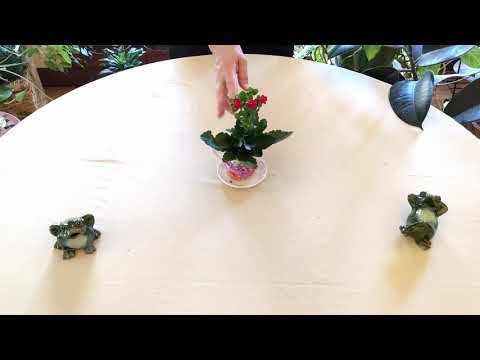 , title : 'Kalanchoe Indoor Care: What to Know