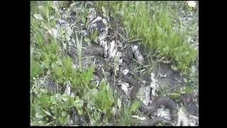Уж заживо съедает лягушку.Зрелище не для слабонервных.