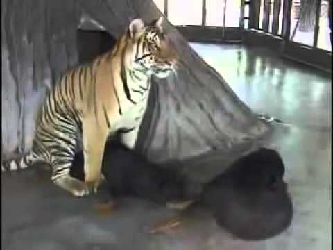 Tiger And Dog Mating