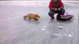 Лиса пришла к рыбакам покушать / fox want some snack