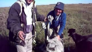 preview picture of video 'casando avestruz en roque perez 2 parte'