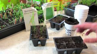 How to Seed Start  Asparagus Indoors - Save a Year by Starting Early! - TRG2016