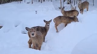 Lots of Deer come out in the snow