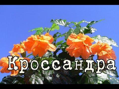КРОССАНДРА – красиво цветущее растение. Уход и разведение в домашних условиях