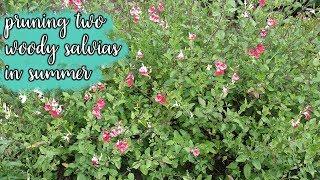 Pruning 2 Woody Salvias In Summer / Joy Us Garden