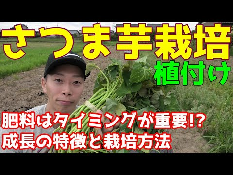 , title : 'さつまいも植付け 肥料はタイミングが重要!?ツルぼけ注意点と栽培方法