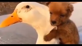 Tiny Puppy Becomes BFFs With A Duck And Snuggles Into Her Feathers