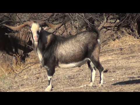 Kozy s šípem v zádech