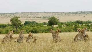 Spotting A Rare Group of 8 Cheetah!   Seven Worlds, One Planet   BBC Earth