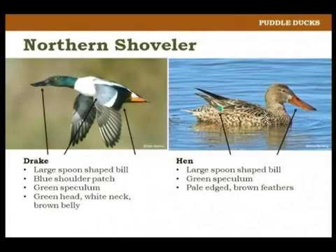 , title : 'Identifying Waterfowl on the Wing - Pat Kehoe