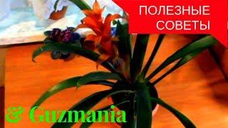 Гусмания Guzmania в домашних условиях(полезные советы),особенности ухода.