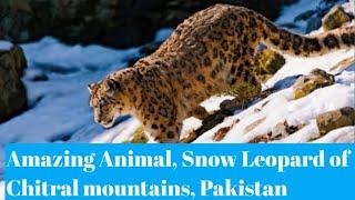 Natural World |  Snow Leopard of PAKISTAN | Animal In Danger | Northern Pakistan