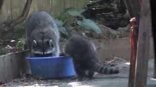 Urban Garden - Mama Racoon Bathing Babies