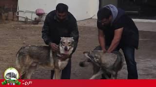 FIRST WOLFDOG IMPORTS PAKISTAN BY SARDAR UZAIR HASSAN