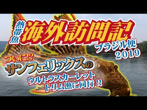 海外訪問記 ブラジル ~ サンフェリックスのウルトラスカーレットトリム漁に同行!! ~