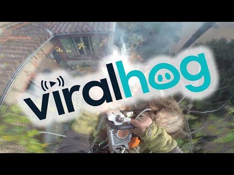 Ξυλοκόπος βάζει φωτιά σε ένα φοίνικα με το αλυσοπρίονό του