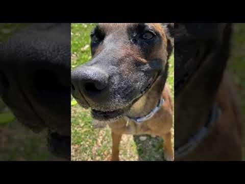 כשלכלב המצחיק הזה יש צעצוע בפה הוא מתנהג מוזר מאוד!