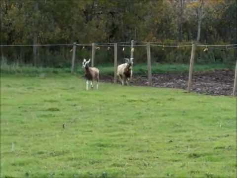 , title : 'Breeding Toggenburg Goats